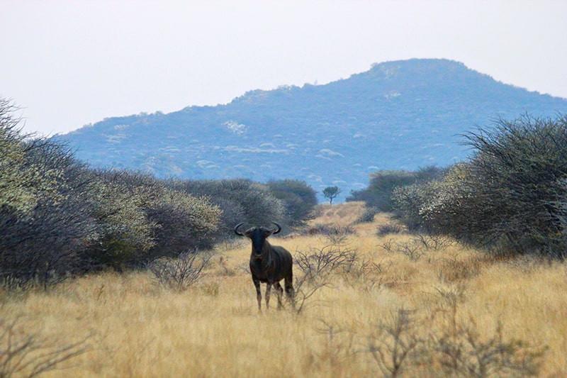 Streifengnu-Berglandschaft-jagdfarm-nami