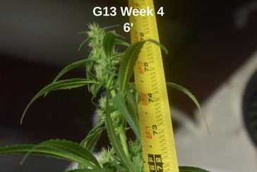 G13 CBD Flowering Week 4 Tape Measure