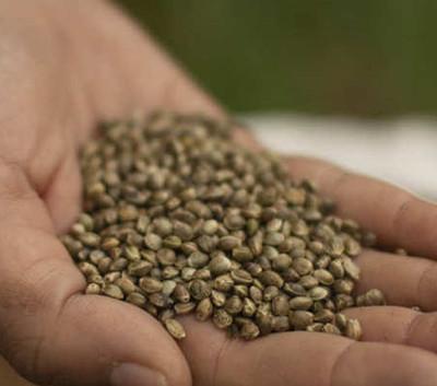 Hemp Grain Seed
