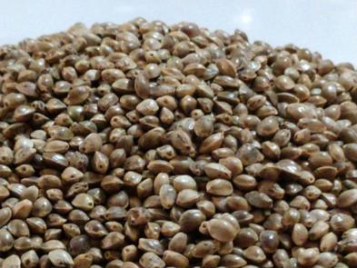 Oregon Hemp Seeds