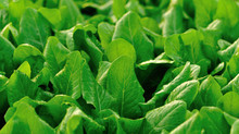Germains Launches Organic Seed Treatment For Spinach