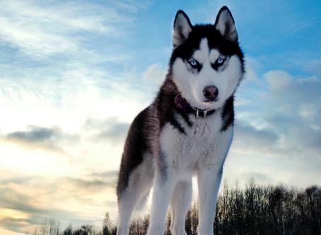 Razas - Husky Siberiano