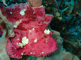 Pink leaf scorpion fish, Palawan, Philippines