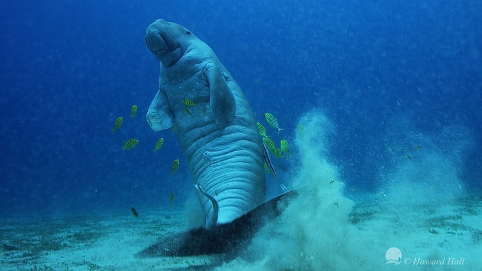 Dugong scratching his back