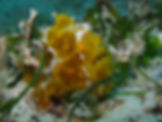 Diving with Frogfish Palawan
