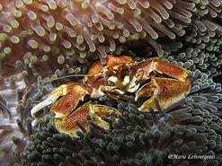 Porcelain crab, Palawan, Philippines