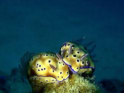 Nudibranch love, Palawan, Philippines