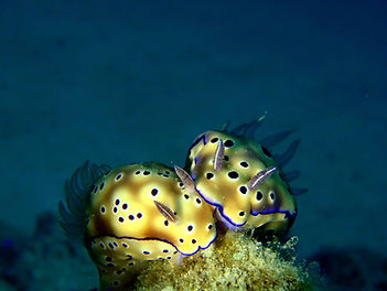 Nudibranch love, Palawan, Philippines