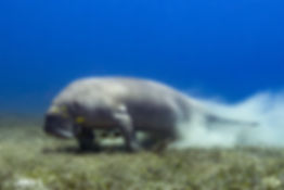 Dugong jumping on sea grass bed