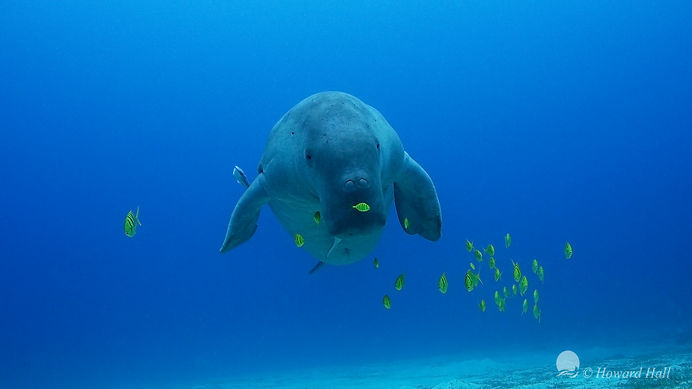 dugong looking at diver