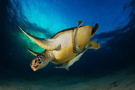Turtle on reef at palawan