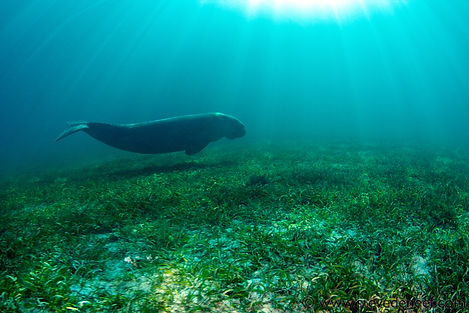 Dugong swimming on seagrass bed