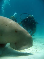 Diver diving with smiley dugong, Palawan, Philippines