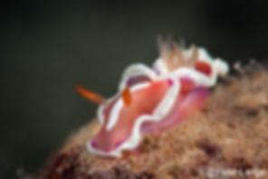 White and Pink Nudibranch, macro reef diving, Palawan, Philippines