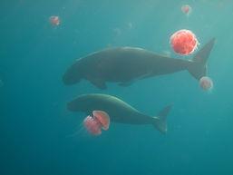 Mother and calf dugong swimming among jellyfish, Palawan, Philippines