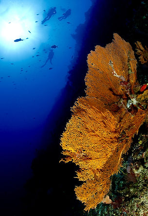 Diver in wall diving, Apo Reef, Palawan, Philippines