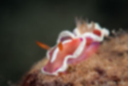 Nudibranch macro diving Tara Island, Palawan
