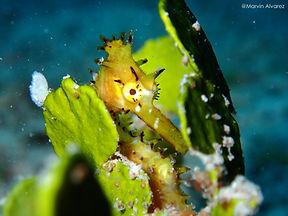 Seahorse hiding in seagrass, Dimakya Island, Palawan, Philippines