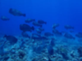 School of humphead parrotfish at Apo Reef, Palawan, Philippines
