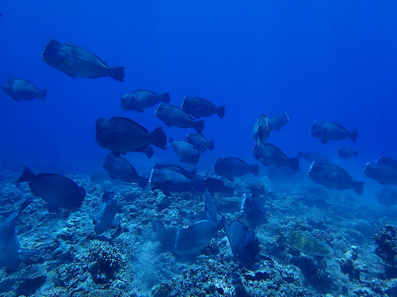 School of humphead parrotfish at Apo Reef, Palawan, Philippines