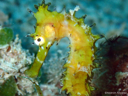 Yellow thorny seahorse, reef dive, Palawan, Philippines