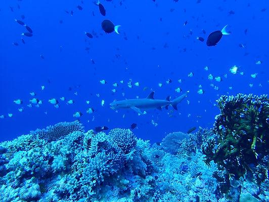 Shark and fish wall diving at Apo Reef, Palawan, Philippines