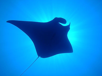 Manta Ray in the ocean with Dugong Dive Center, Palawan, Philippines