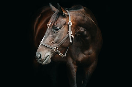 blackbackground horse portrait