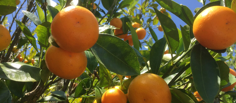 Squeezing into rural Georgia: the state's citrus industry
