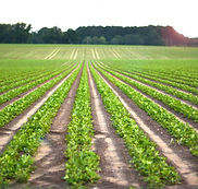 Beautiful Peanut Field.jpg