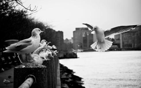 NYC Doves