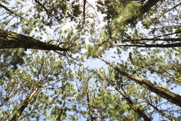 Pines Tree in Jarabacoa