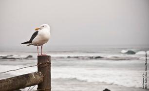 Wester Gull
