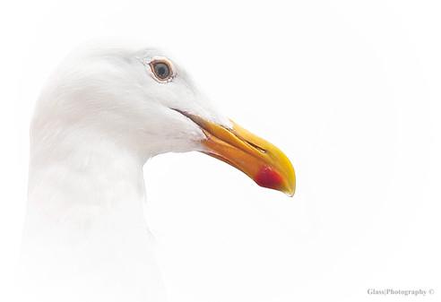 Western Sea Gull