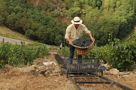 Algueira harvest