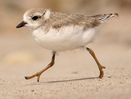Why Plovers Nest Where They Do - And Why it Matters to You