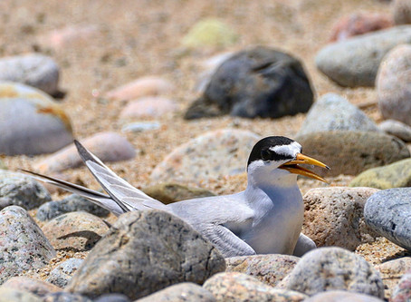What's with Least Terns?
