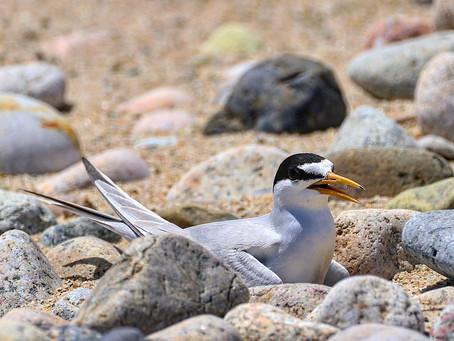 Tern Signals