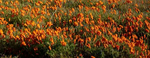 poppyflowers.jpg