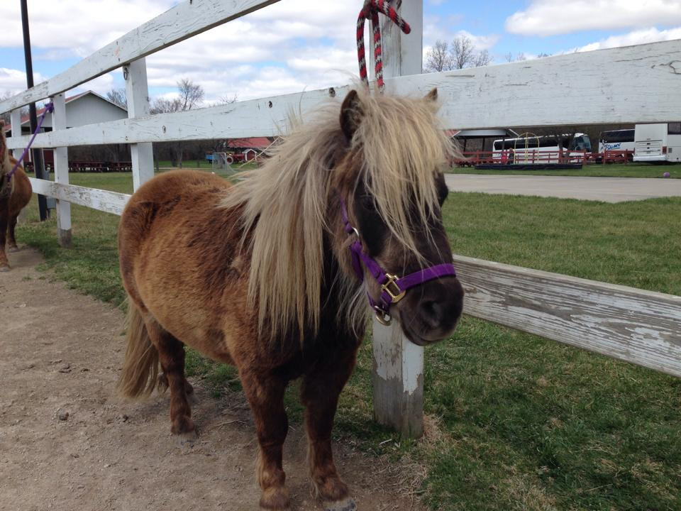 Ponies and Miniature Horses