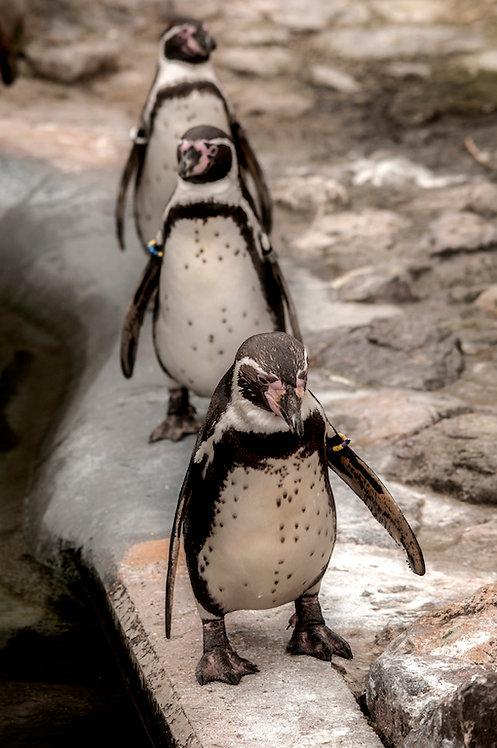 80x120 cm Pinguin Row