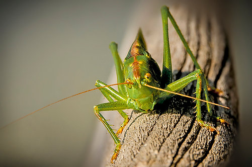 60x90 cm Grashopper