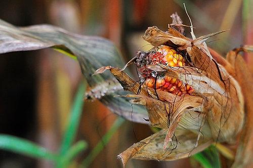 Corn 100x150 cm