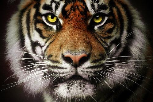 80x120 cm Tigris