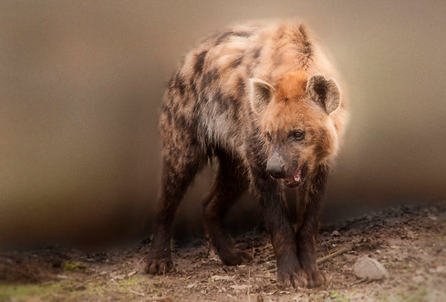 60x90 cm Hyena