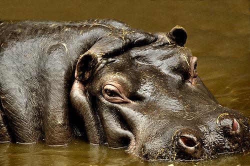 80x120 cm Nijlpaard