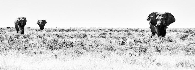 Foto op dibond 53x150cm met ophangsysteem : wandering Giants
