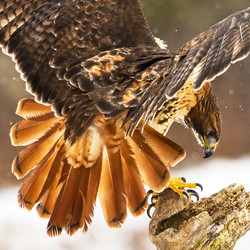 January Red Tail