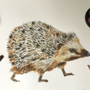 WaterColour & Pen Hedgehog