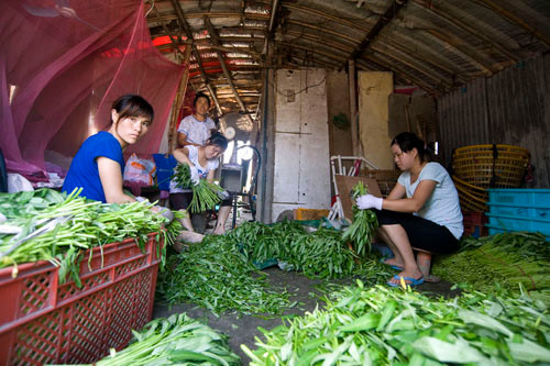 Poor migrant farmers prepare cultivated wild garlic for sale in their shack on the outskirts of Shanghai where they live and work.